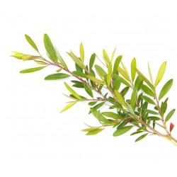 Saf ve Doğal Çay Ağacı Yağı